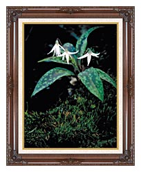 U S Fish And Wildlife Service White Trout Lily canvas with dark regal wood frame