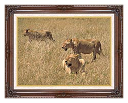 U S Fish And Wildlife Service African Lions canvas with dark regal wood frame