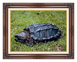 U S Fish And Wildlife Service Alligator Snapping Turtle canvas with dark regal wood frame
