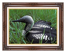 U S Fish And Wildlife Service Artic Loon canvas with dark regal wood frame