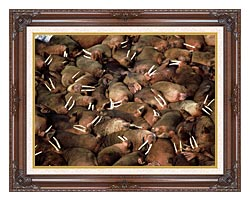 U S Fish And Wildlife Service Walrus Herd canvas with dark regal wood frame