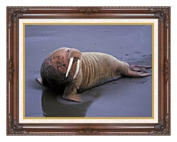U S Fish And Wildlife Service Walrus canvas with dark regal wood frame