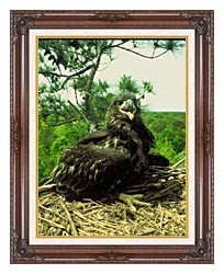 U S Fish And Wildlife Service Bald Eagle Chick canvas with dark regal wood frame