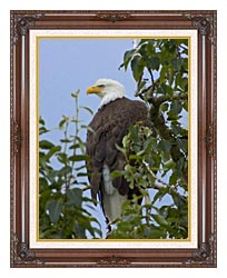 U S Fish And Wildlife Service Bald Eagle On Tree Branch canvas with dark regal wood frame