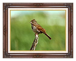 U S Fish And Wildlife Service Fox Sparrow canvas with dark regal wood frame