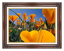 Visions of America Close Up Of California Poppies Blooming In Springtime canvas with dark regal wood frame