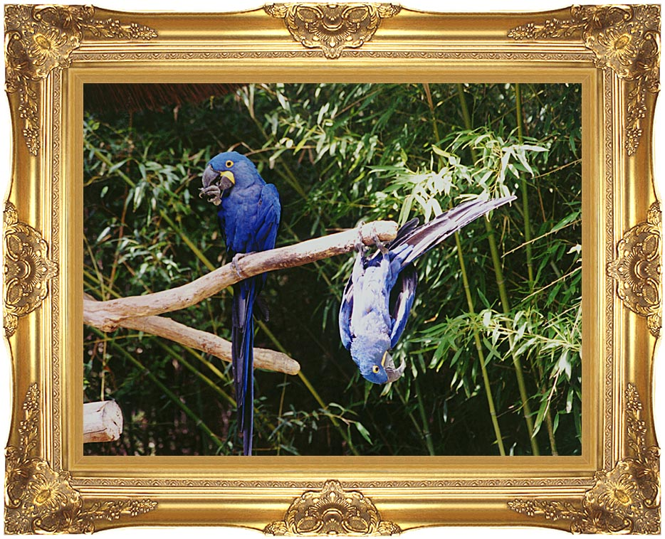 Brandie Newmon Blue Parrots Hanging Around with Majestic Gold Frame