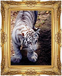 Brandie Newmon White Tiger Cub Exploring canvas with Majestic Gold frame