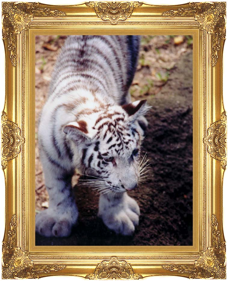 Brandie Newmon White Tiger Cub Exploring with Majestic Gold Frame