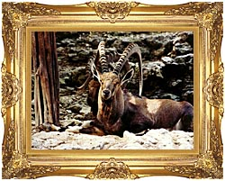 Brandie Newmon Ibex   Wild Goats canvas with Majestic Gold frame