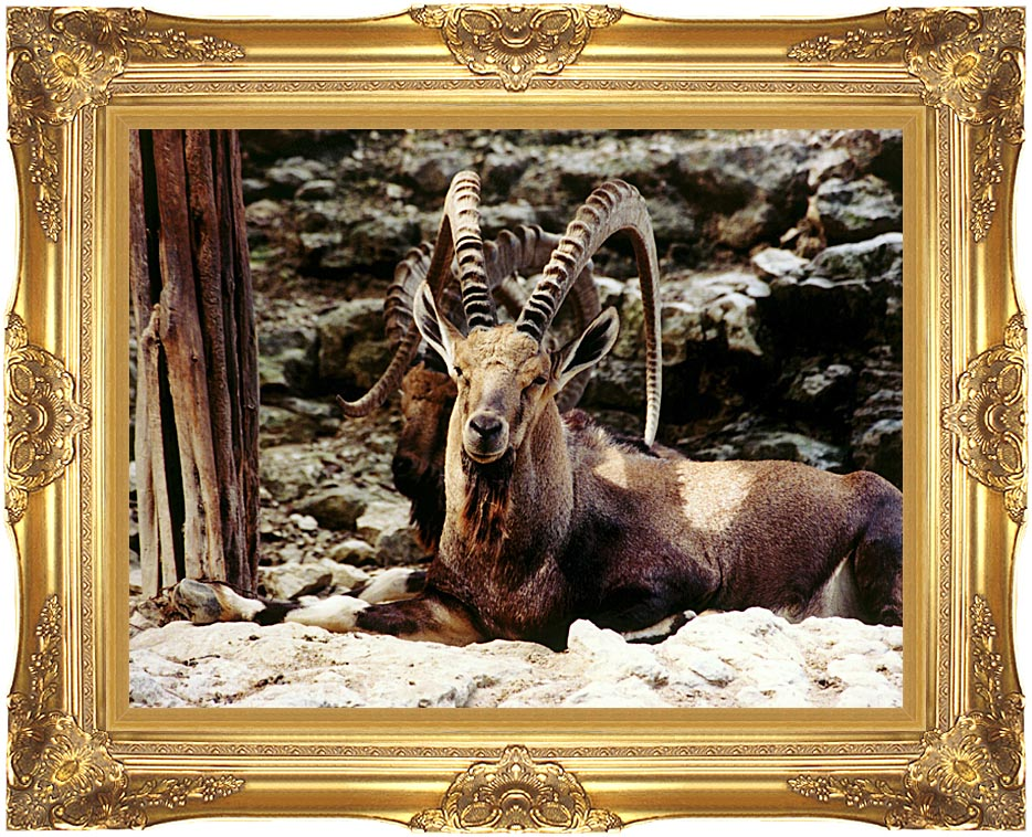 Brandie Newmon Ibex - Wild Goats with Majestic Gold Frame