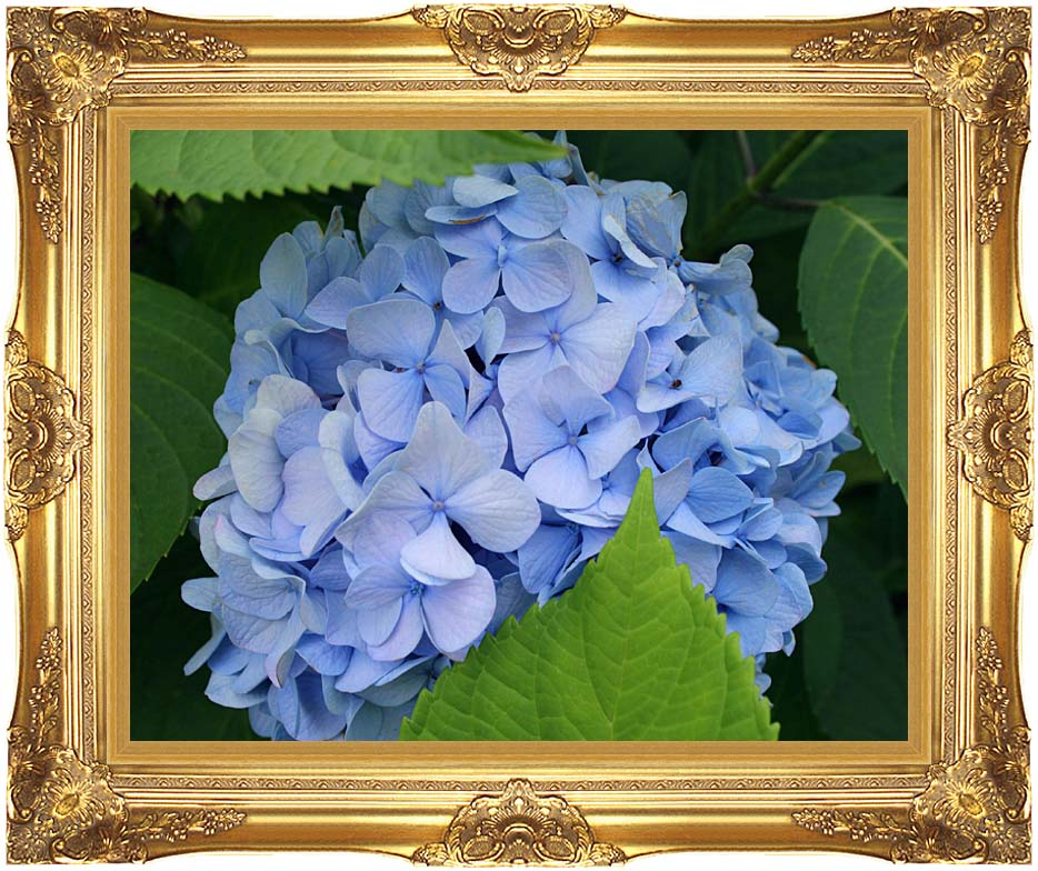 Kim O'Leary Photography Blue Hydrangea with Majestic Gold Frame