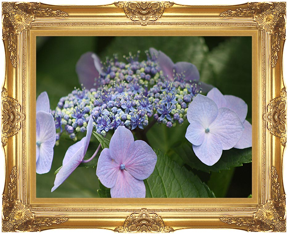Kim O'Leary Photography Blooming Hydrangea with Majestic Gold Frame