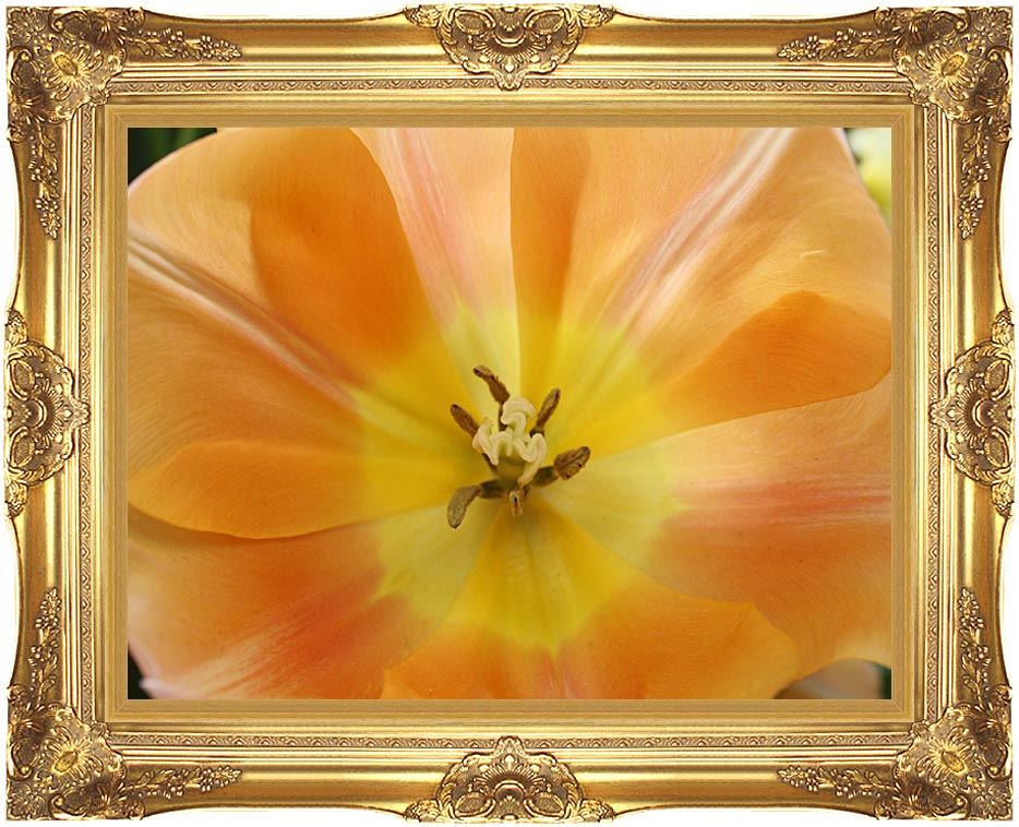 Kim O'Leary Photography Beautiful Orange Tulip with Majestic Gold Frame