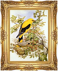 John Gould Golden Oriole canvas with Majestic Gold frame