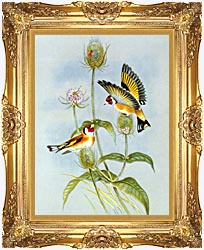John Gould Goldfinch canvas with Majestic Gold frame