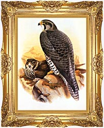 John Gould Gyrfalcon canvas with Majestic Gold frame