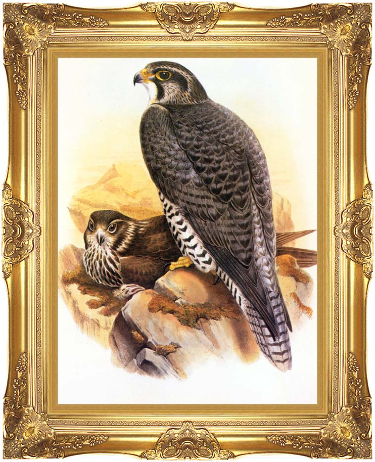 John Gould Gyrfalcon with Majestic Gold Frame