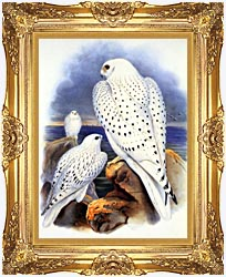 John Gould Gyrfalcon   Greenland Falcon canvas with Majestic Gold frame