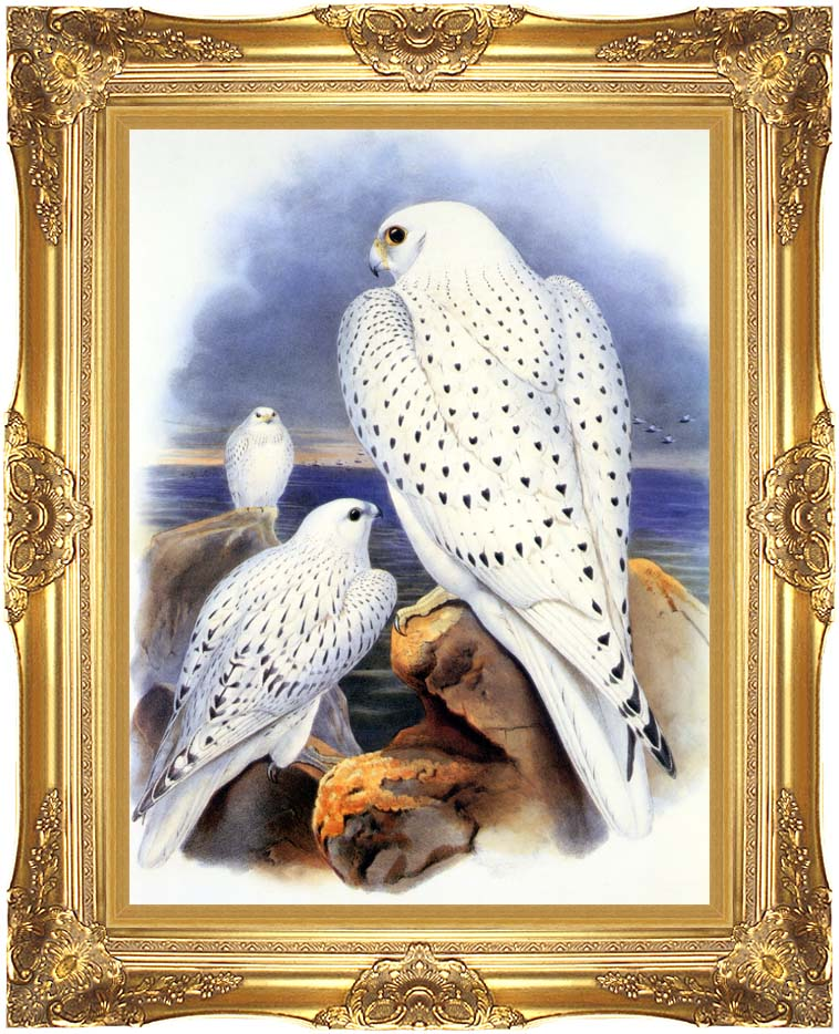 John Gould Gyrfalcon - Greenland Falcon with Majestic Gold Frame