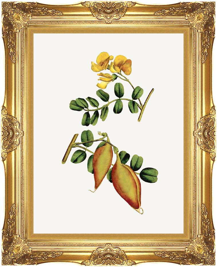 William Curtis Bladder Senna with Majestic Gold Frame
