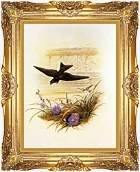 John Gould Sand Martin canvas with Majestic Gold frame