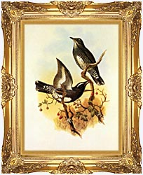 John Gould Siberian Thrush canvas with Majestic Gold frame