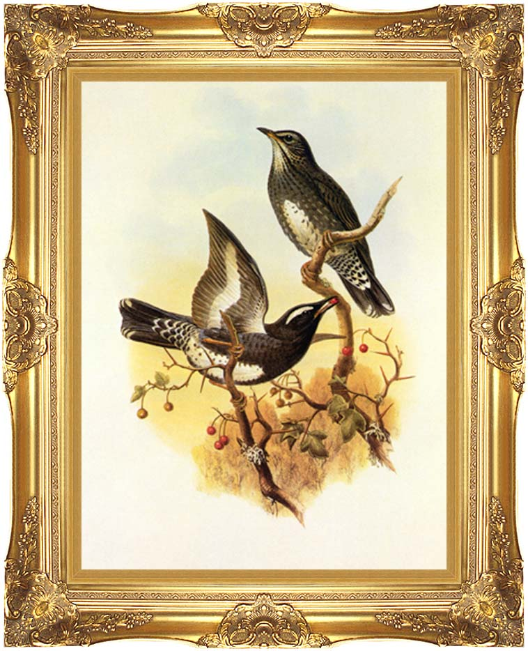 John Gould Siberian Thrush with Majestic Gold Frame