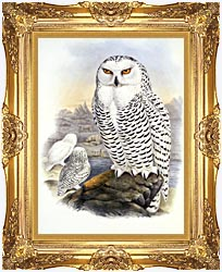 John Gould Snowy Owl canvas with Majestic Gold frame