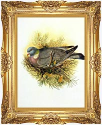 John Gould Wood Pigeon canvas with Majestic Gold frame