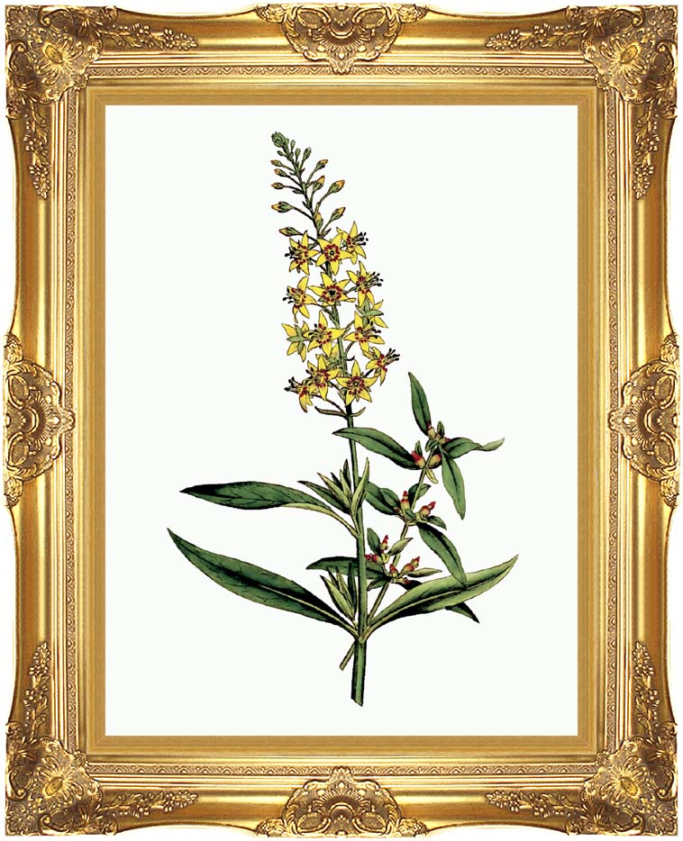 William Curtis Bulb Bearing Loosestrife with Majestic Gold Frame