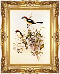John Gould Woodchat Shrike canvas with Majestic Gold frame