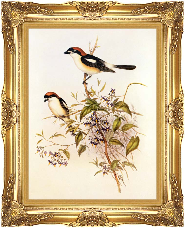 John Gould Woodchat Shrike with Majestic Gold Frame