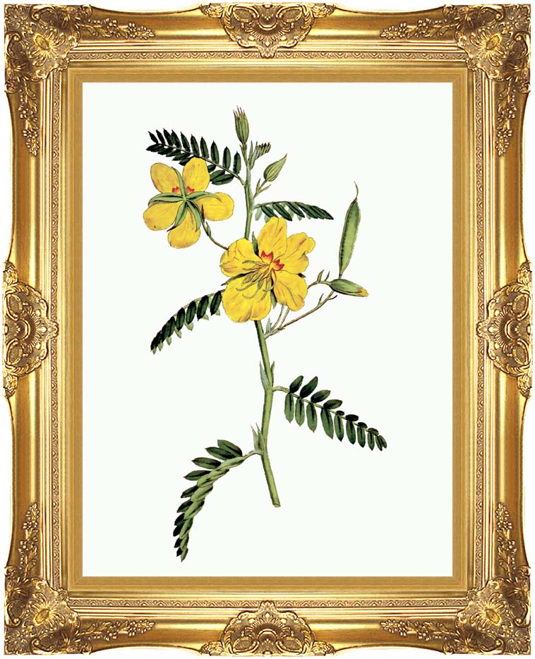 William Curtis Dwarf Cassia with Majestic Gold Frame