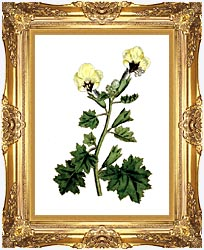 William Curtis Golden Flowered Henbane canvas with Majestic Gold frame