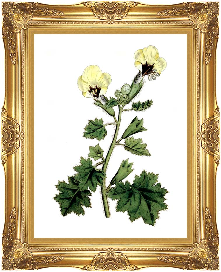 William Curtis Golden Flowered Henbane with Majestic Gold Frame