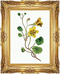 William Curtis Indian Cress canvas with Majestic Gold frame