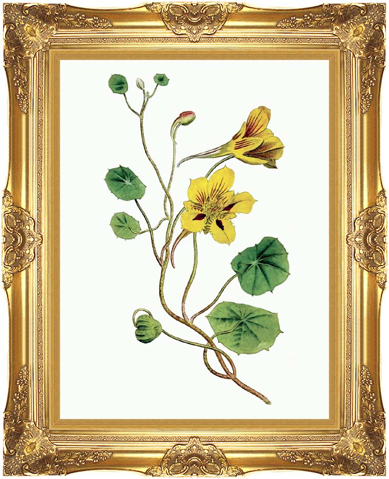William Curtis Indian Cress with Majestic Gold Frame