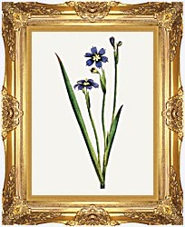 William Curtis Iris Leaved Sisyrinchium canvas with Majestic Gold frame