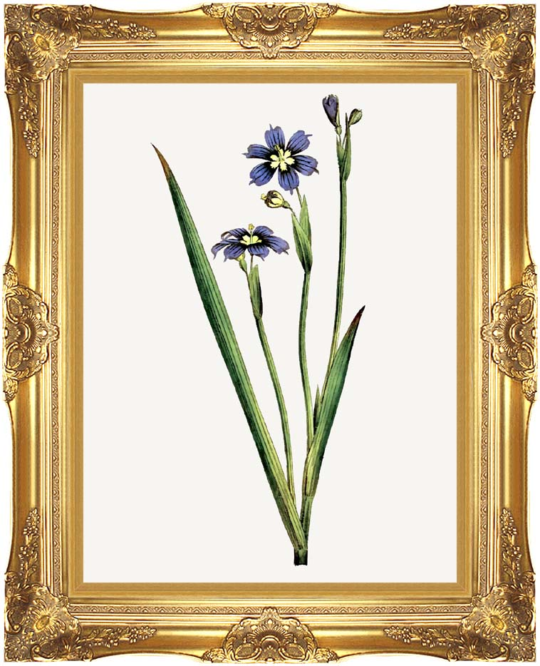 William Curtis Iris-Leaved Sisyrinchium with Majestic Gold Frame