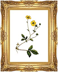 William Curtis Large Flowered Potentilla canvas with Majestic Gold frame