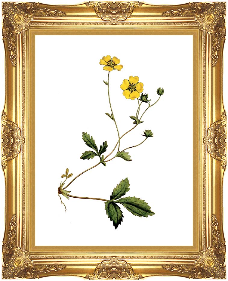 William Curtis Large Flowered Potentilla with Majestic Gold Frame