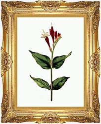 William Curtis Maryland Spigelia canvas with Majestic Gold frame