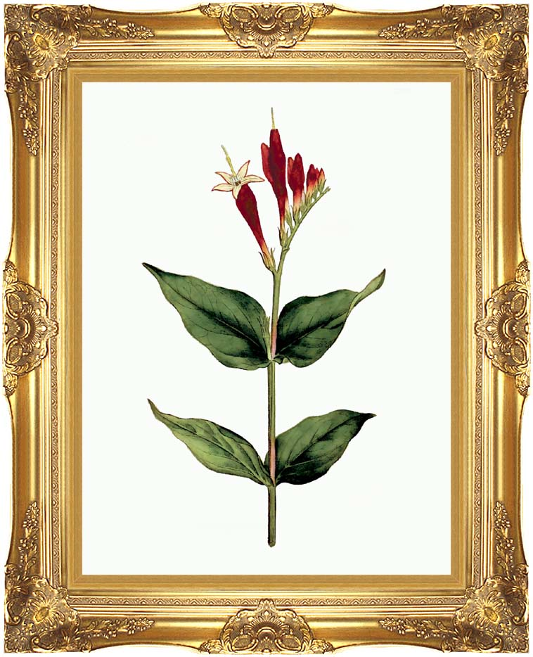 William Curtis Maryland Spigelia with Majestic Gold Frame