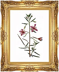 William Curtis Narrowest Leaved Willow Herb canvas with Majestic Gold frame