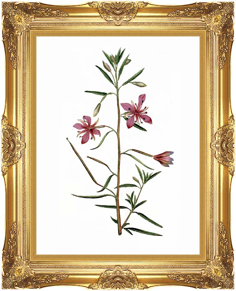 William Curtis Narrowest-Leaved Willow Herb with Majestic Gold Frame