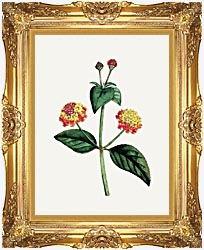 William Curtis Prickly Lantana canvas with Majestic Gold frame
