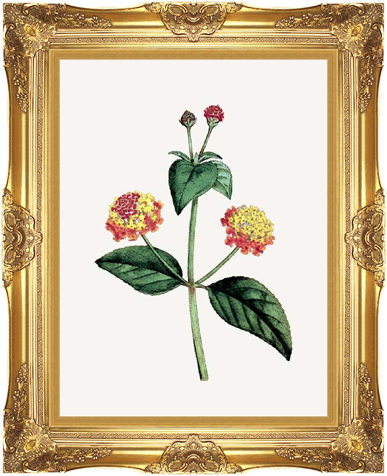 William Curtis Prickly Lantana with Majestic Gold Frame