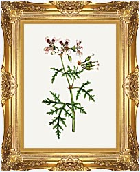 William Curtis Rasp Leaved Geranium canvas with Majestic Gold frame