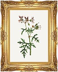 William Curtis Rasp Leaved Geranium canvas with Majestic Gold frame